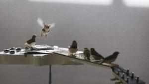 Oiseaux jouent guitare - RTBF